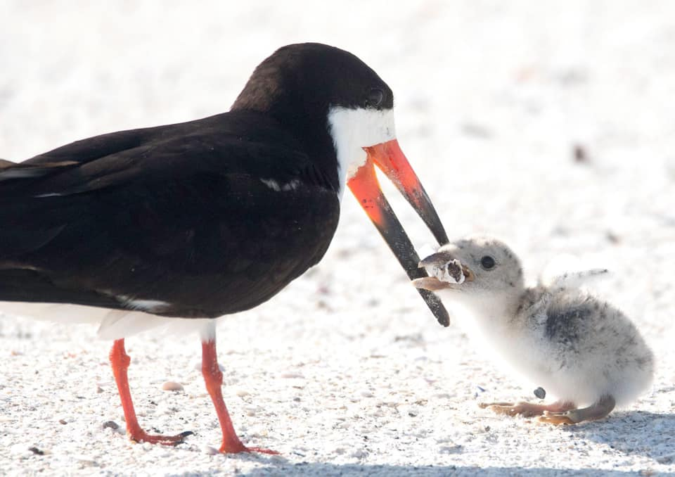 mother bird feeds her chick a cigarette butt, mother bird feeding her chick a cigarette butt picture, mother bird feeding her chick a cigarette butt news, mother bird feeding her chick a cigarette butt video