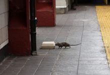 new york rat problem, new york infested by giant rats, large rats invade new york