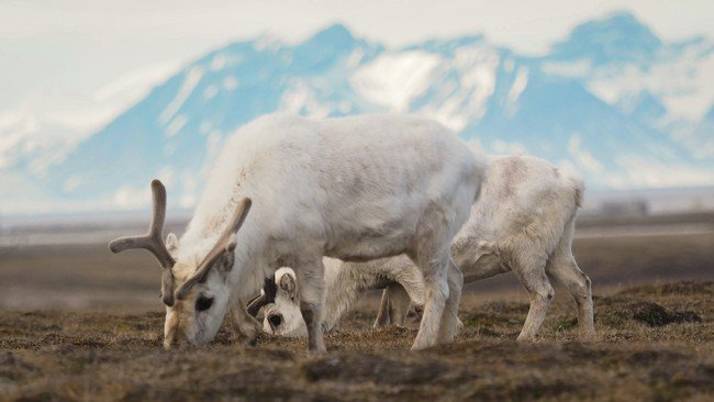 More than 200 dead reindeer starved to death on the island of Svalbard in Norway, More than 200 dead reindeer starved to death in Norway