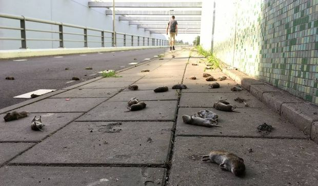 suicidal mice holland, suicidal mice holland pictures, suicidal mice holland video, More than 500 rodents have plummeted to their deaths in just three days in the Dutch city of Hommerts and nobody knows why