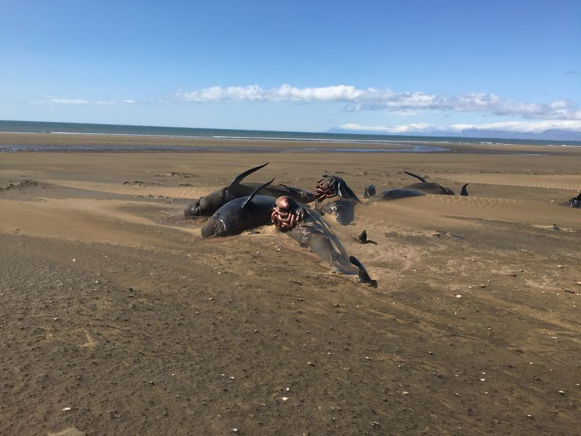 whale beaching iceland, dead whales iceland, iceland whale mass die-off, iceland whale mass die-off picture, iceland whale mass die-off video, Dozens of dead whales were found on a remote beach in Iceland