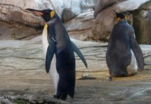 Gay penguins, Gay penguins adopt egg, Gay penguins at Berlin Zoo are about to become parents by adopting an egg abandoned by its mother.