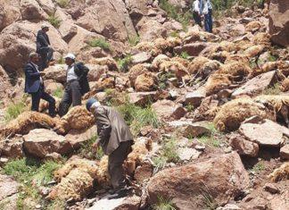 500 sheep die in mass animal suicide in Turkey, 500 sheep die in mass animal suicide in Turkey video, 500 sheep die in mass animal suicide in Turkey pictures