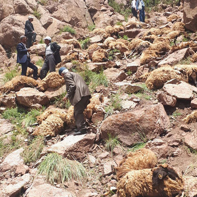 500 sheep die in mass animal suicide in Turkey, 500 sheep die in mass animal suicide in Turkey video, 500 sheep die in mass animal suicide in Turkey pictures