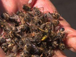 bee apocalypse, The bee apocalypse is real