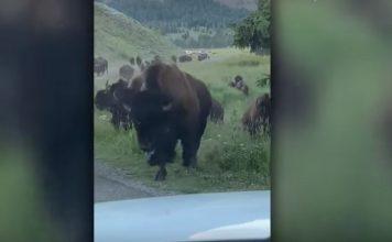 Bison stampede smashes car window in Yellowstone National Park video, Bison stampede smashes car window in Yellowstone National Park video august 2019