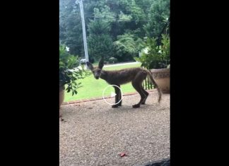 chupacabra sighting usa video, chupacabra sighting usa video august 2019, chupacabra sighting usa