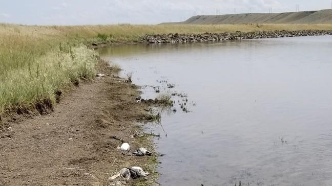 montana hailstorm kills thousands birds, hailstorm kills thousands birds montana picture