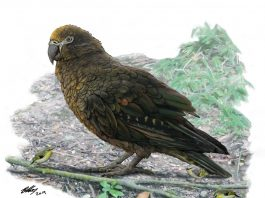 giant parrot heracles new zealand, giant parrot new zealand, giant parrot new zealand size, giant parrot discovered new zealand, giant parrot new zealand discovery, giant parrot new zealand fossils, giant parrot new zealand august 2019