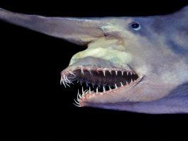 goblin shark, strange way goblin shark eat, Jaws of a goblin shark