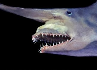 goblin shark, strange way goblin shark eat, Jaws of a goblin shark
