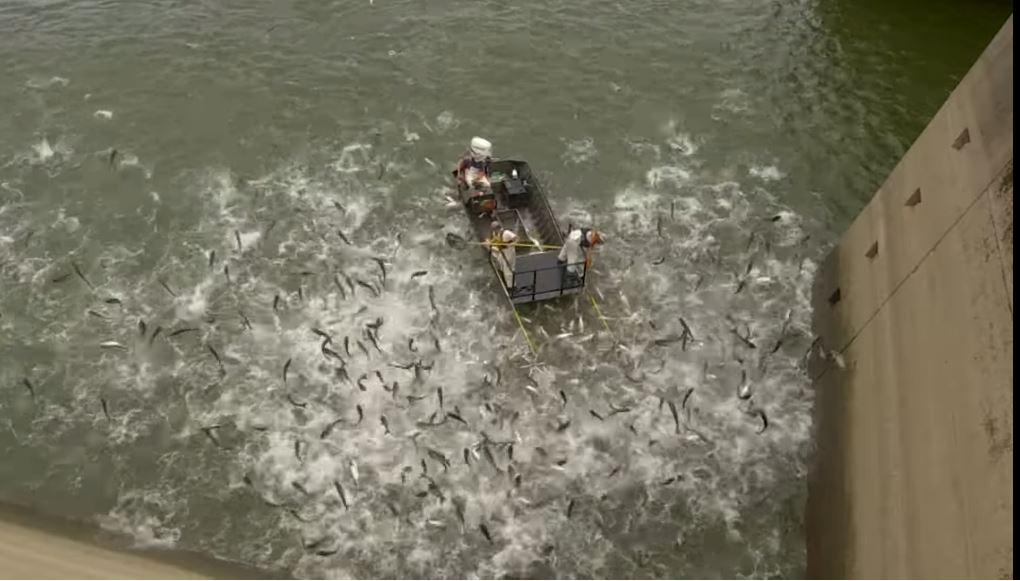 Kentucky asian carp problem, Kentucky asian carp problem video, Kentucky asian carp problem shocking boats video, Kentucky asian carp problem shocking boats video august 2019