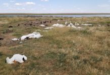 montana hailstorm kills thousands birds, hailstorm kills thousands birds montana picture