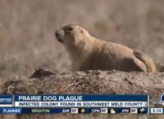 prairie dog plague denver, Plague continues to strike Denver prairie dog colony, prairie dog plague denver video