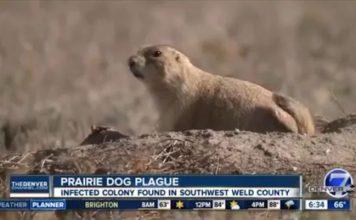 prairie dog plague denver, Plague continues to strike Denver prairie dog colony, prairie dog plague denver video