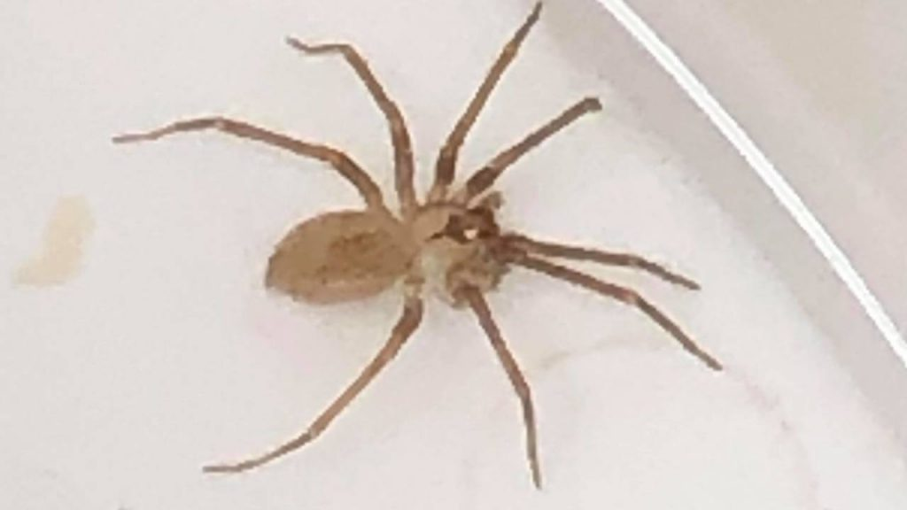 spider ear woman, woman has spider in ear, She thought she had water in her ear but it was a highly venomous spider, She thought she had water in her ear but it was a highly venomous spider video, She thought she had water in her ear but it was a highly venomous spider august 2019,
