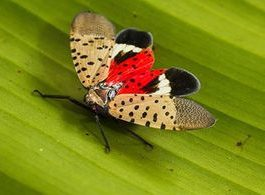 spotted lanternfly invasion new jersey, spotted lanternfly invasion usa, spotted lanternfly invasion new jersey video, spotted lanternfly invasion new jersey pictures