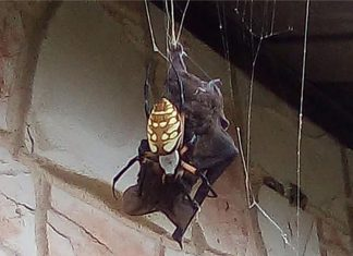 Giant spider kills bat video, Giant spider kills bat video august 2019, Giant spider kills bat picture