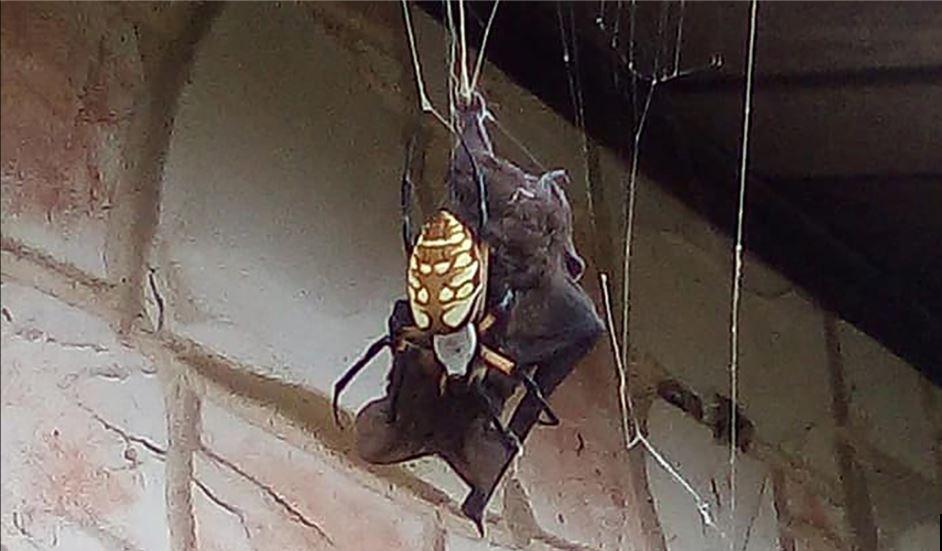 Giant spider kills bat video, Giant spider kills bat video august 2019, Giant spider kills bat picture