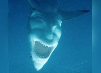 white shark from below is terrifying, great white shark from below is terrifying