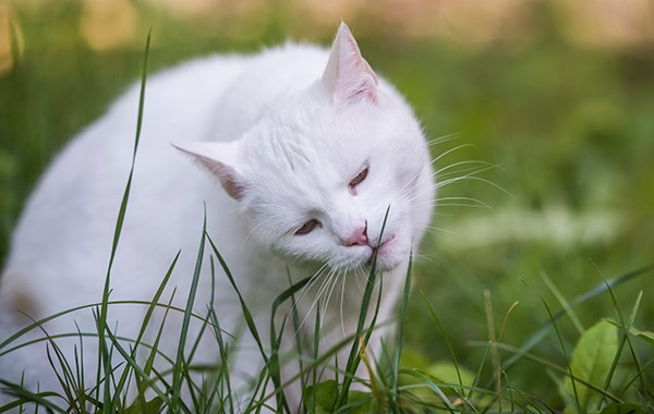 why cats eat grass reason why cats eat grass, cats eat grass, grass and cats