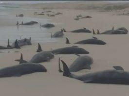 134 dead whales cape verde, 134 dead whales cape verde video, 134 dead whales cape verde september 2019