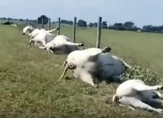 23 cows killed by lightning in texas, 23 cows killed by lightning in texas video