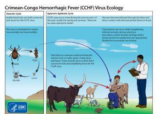 Crimean-Congo hemorrhagic fever virus, Crimean-Congo hemorrhagic fever virus tanzania, This graphic shows the life cycle of the Crimean-Congo hemorrhagic fever virus