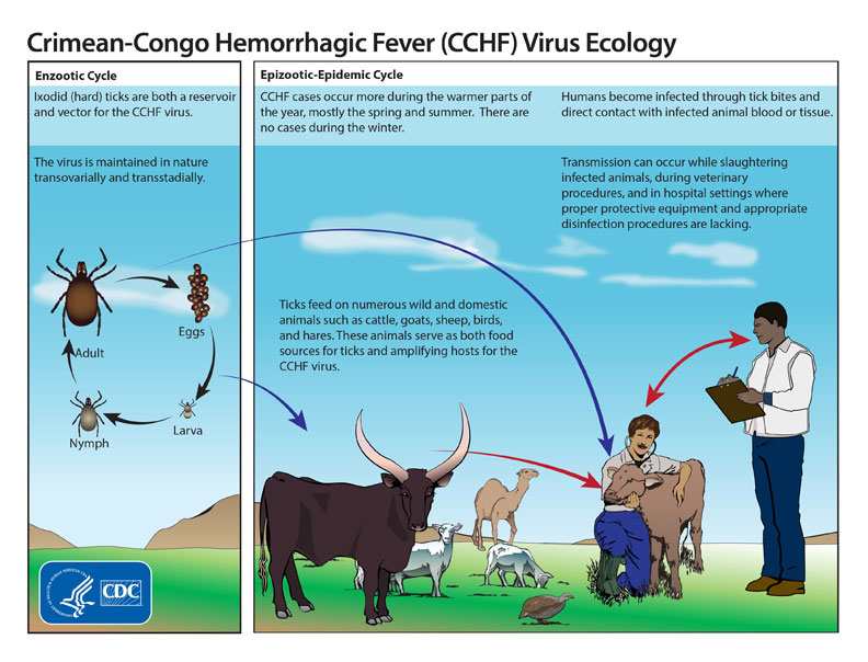 Crimean-Congo hemorrhagic fever virus, Crimean-Congo hemorrhagic fever virus tanzania, This graphic shows the life cycle of the Crimean-Congo hemorrhagic fever virus