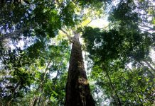 Amazon giant trees, Amazon giant trees map, Amazon giant trees picture