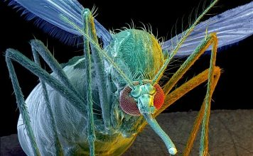 Transgenic mosquitoes released in Brazil in an effort to reduce the population of disease-bearing insects have successfully bred and passed on genes to the native mosquito population