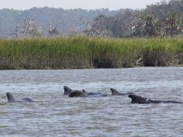 Roughly two dozen pilot whales beached themselves on and near a Georgia barrier island, leaving 15 dead