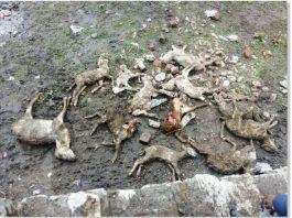 lightning kills 230 sheep in Nepal