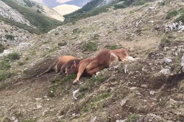 lightning kills animals, animals killed by lightning, 200 sheep killed by lightning nepal, 250 sheep killed by lightning nepal, cows killed by lightning spain