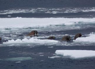 Walrus sinks Russian naval vessel, walrus sinks russian boat, walrus sinks russian landing boat