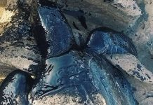 brazil mysterious oil spill, brazil mysterious oil spill kills animals beach