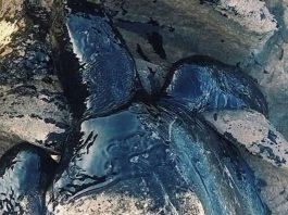 brazil mysterious oil spill, brazil mysterious oil spill kills animals beach