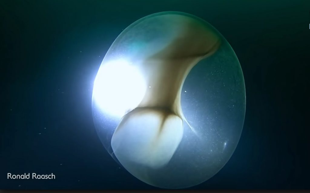 giant squid egg video
