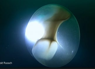 giant squid egg video