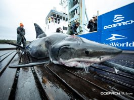 Massive great white shark has two giant bite marks on its head, great white shark two bite marks on head, great white shark two bite marks on head video, great white shark two bite marks on head picture