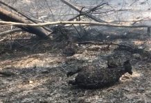 dead koalas australia fire, australia fires burn hundreds koalas alive, dead koalas australia fire video, hundreds dead koalas burn australia fire pictures videos