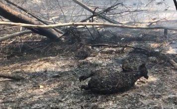 dead koalas australia fire, australia fires burn hundreds koalas alive, dead koalas australia fire video, hundreds dead koalas burn australia fire pictures videos