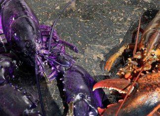 purple lobster, purple lobster maine, purple lobster maine picture, purple lobster picture