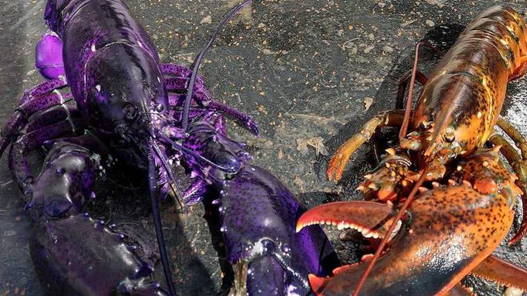 purple lobster, purple lobster maine, purple lobster maine picture, purple lobster picture