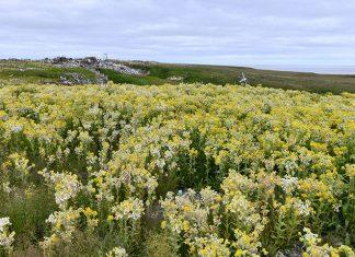 Arctic Bloom, blooming arctic, Arctic Bloom pictures, Arctic Bloom october 2019, flowers in arctic