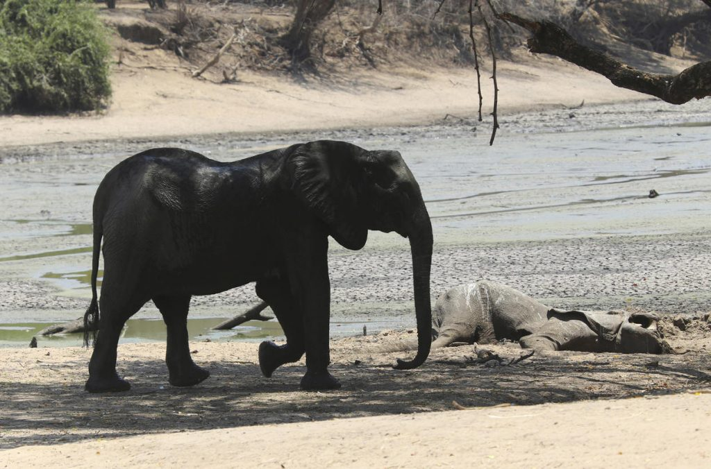 More than 100 elephants die amid drought in Zimbabwe, More than 100 elephants die amid drought in Zimbabwe video, More than 100 elephants die amid drought in Zimbabwe pictures