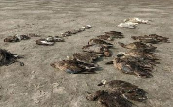 Thousands of birds found dead near lake in India, birds die mysteriously in India video, birds die mysteriously in India pictures