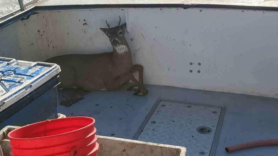 Lobster boat catches deer five miles from shore. Deer picked up, given a few bucks and dropped off on land, lobsterman catch deer five miles away from shore in maine, maine deer lobster boat