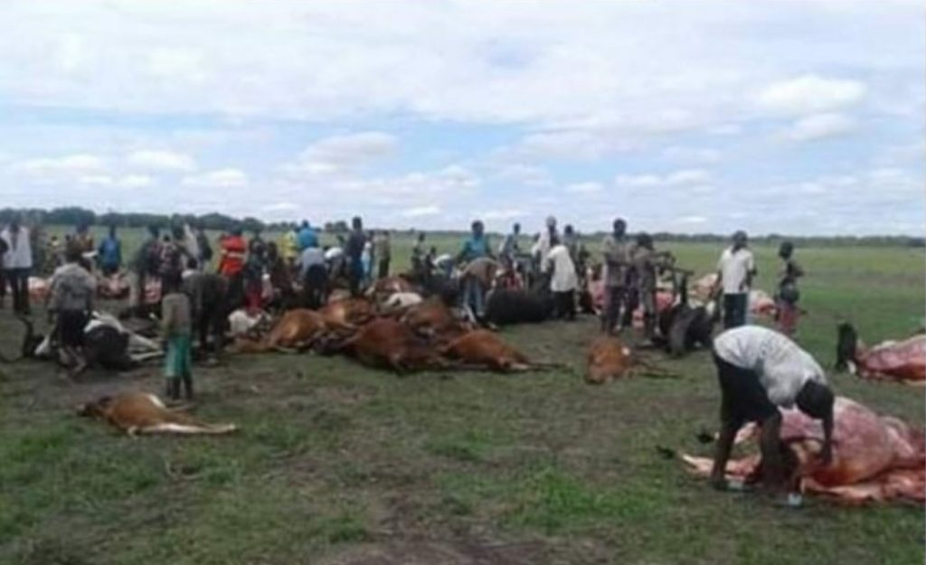 lightning kills 49 cattle zambia, 49 cattle have been killed by lightning strike in Zambia