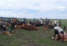 lightning kills 49 cattle zambia, 49 cattle have been killed by lightning strike in Zambia